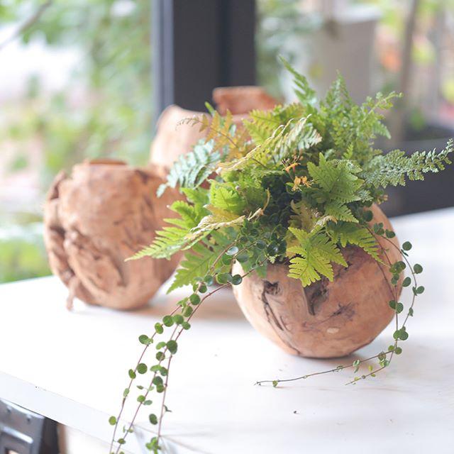 まるごとウッドプランター。かなりワイルドです。ところどころ穴も開いてるし。そのままざぶんと水に浸けて5分放置。そんな感じで手軽にの育てられるインテリアプランツです。お部屋にゴロンと転がしてください♪全て根付きの植物 #bricolage_flower #hanamomiji#gathering#floraldesign#bloom#botanical#gardening#plants#green#instaflowers#ig_flowers#instabloom#bloomjapan#team_jp_flower#アトリエ華もみじ#寄せ植え#ギャザリング#花#花のある暮らし#ボタニカル#ガーデニング#植物#グリーン#ハナモミジ#花好きな人と繋がりたい#フラワーアレンジメント#べラボン